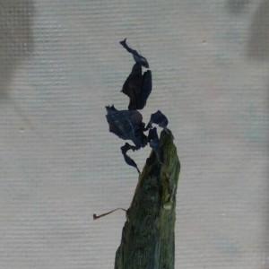 枯葉カマキリ