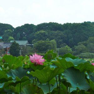 蓮の花がキレイな時期ですね♪(そしてBabaに想いを馳せる☆)